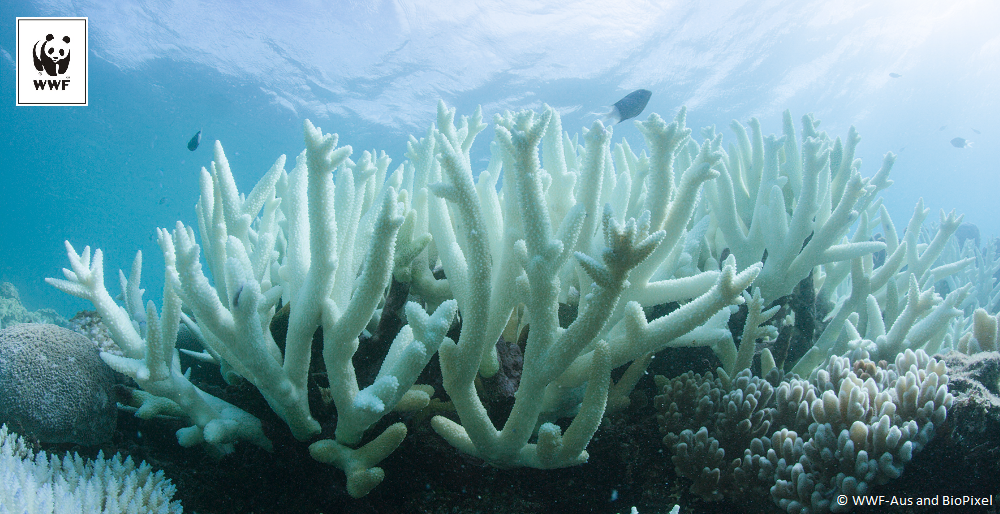 Dramat Wielkiej Rafy Koralowej